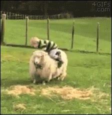 Enlace a ¡Vamos, sigue a esa oveja!