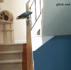 Enlace a El loro que descubrió que era más divertido deslizarse que volar