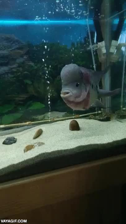 Enlace a Mi pez es un poco cabroncete