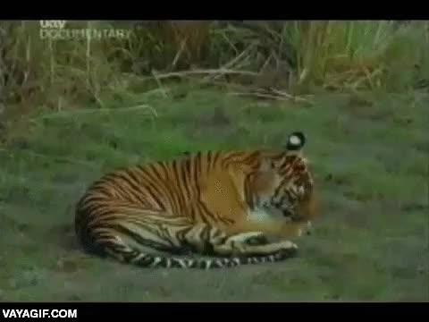 Enlace a Tigre practica sus dotes de asalto con su madre
