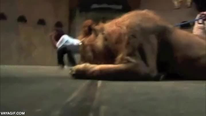 Enlace a Vamos a ver si intimidas a este león con tus artes marciales