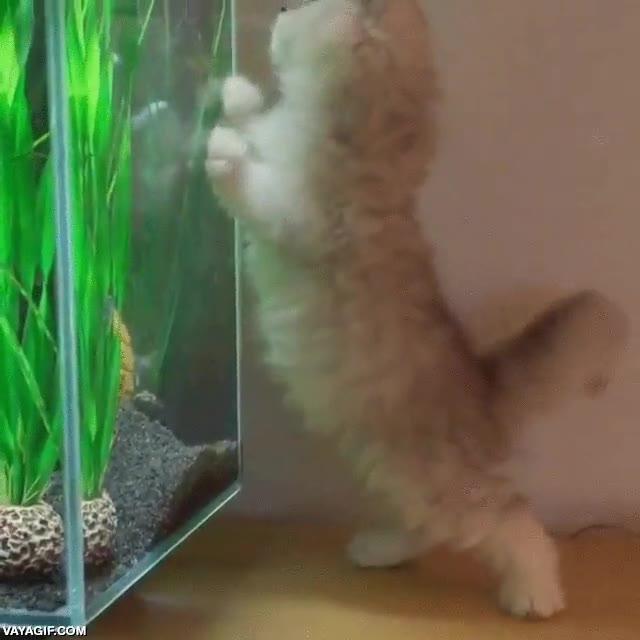 Enlace a Gatito ve pez por primera vez. Su instinto hace el resto