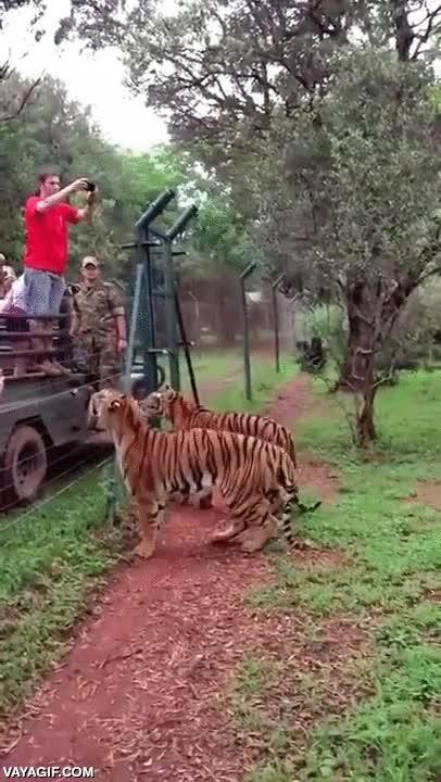 Enlace a Hay trabajos espectaculares, después viene alimentar a los tigres de esta manera