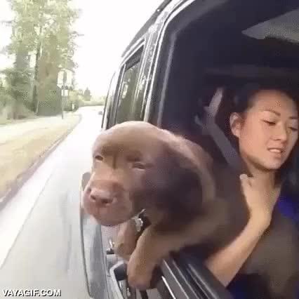 Enlace a ¿Quieres hacerle un regalo a tu perro? Regálale un paseo en coche con ventanas bajadas