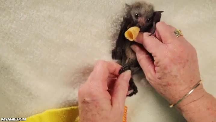 Enlace a Una cría de zorro volador convertido en burrito para irse a dormir
