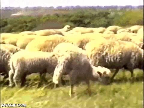 Enlace a La oveja que supo cómo salir adelante aún sin que le funcionen las patas traseras