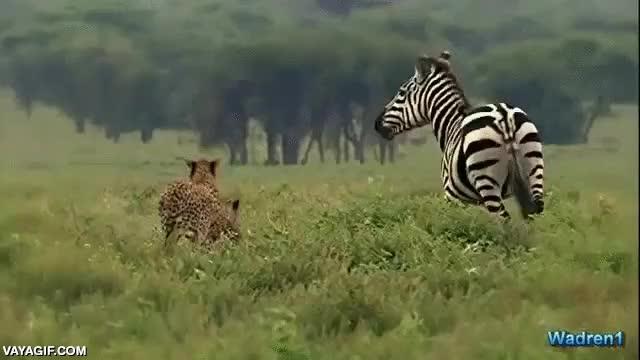 Enlace a Parece un animal muy tranquilo, pero mejor no hagas enfadar a una cebra
