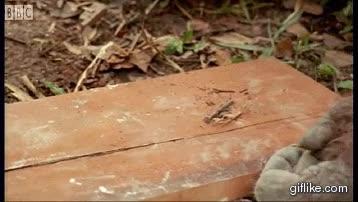 Enlace a Un orangután usando clavos y un martillo, bueno, más o menos