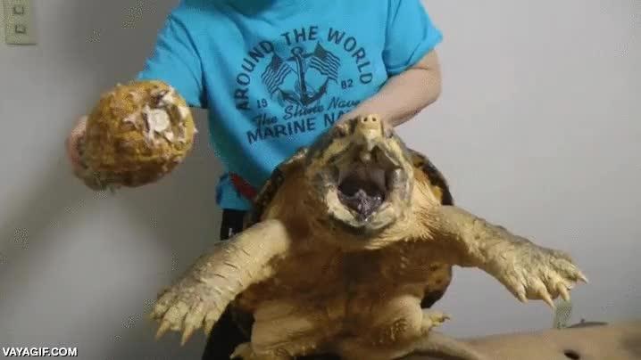 Enlace a Si alguna vez te encuentras con una tortuga aligator, mejor no te acerques a su boca