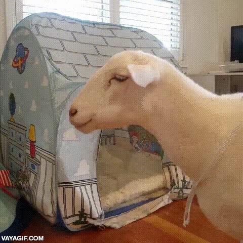 Enlace a Las ovejas como mascota no entienden cómo funcionan los inventos humanos