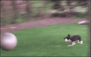 Enlace a Las pelotas de fitness son una trampa mortal para los perros