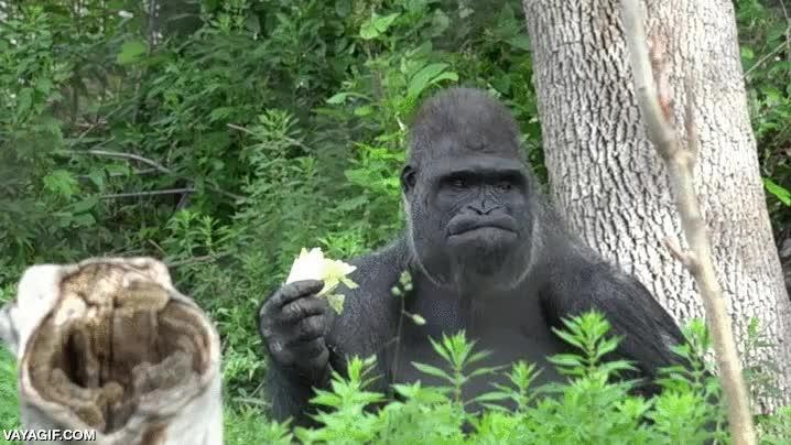 Enlace a Igual solo lo veo yo, pero qué estilazo que tiene este gorila comiendo lechuga