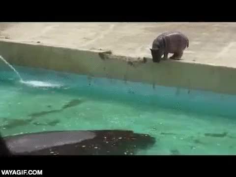 Enlace a Este bebé hipopótamo todavía tiene que trabajar un poco en su entrada al agua