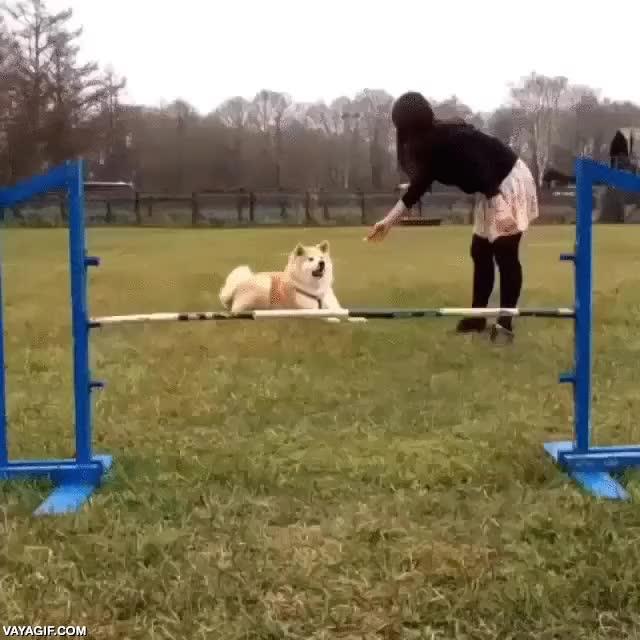 Enlace a Con los perros grandes los circuitos de agility son algo más difíciles, pero con este mejor desisto