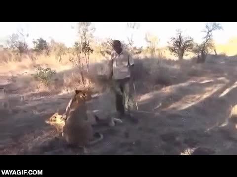 Enlace a El mejor amigo de estos leones es un gran breakdancer