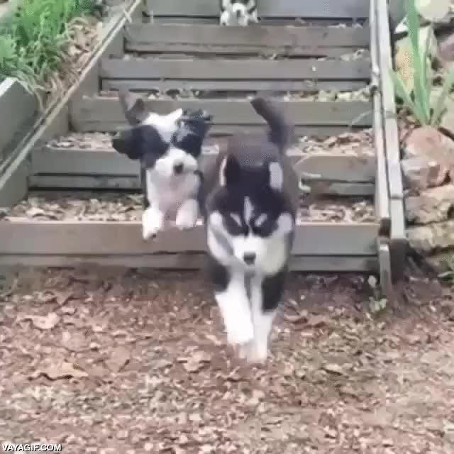 Enlace a Las escaleras son difíciles para los cachorros