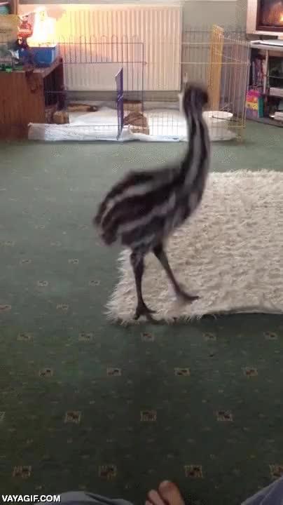 Enlace a Nunca me hubiera imaginado a un bebé de emú jugando con un perro, pero es adorable