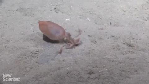 Enlace a Los calamares son los que mejor escenifican eso de ''¡Tierra, trágame!'', aunque sea bajo el mar