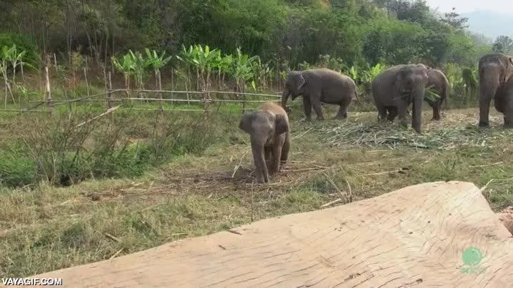Enlace a Este bebé elefante descubriendo que la escalada no es el fuerte de su especie