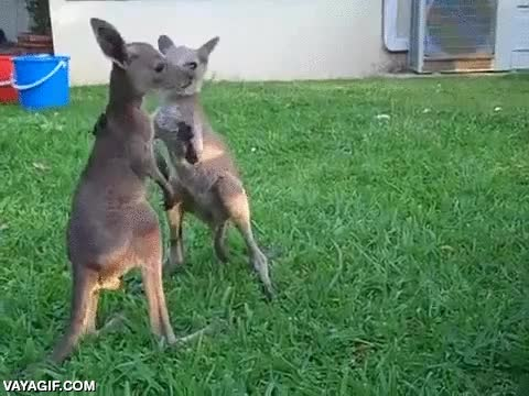Enlace a Estos hermanos canguros todavía están un poco inestables en sus patas traseras pero luchar ya pueden