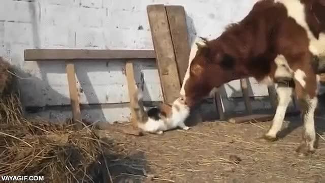 Enlace a Los lametones de una vaca son demasiado grandes para un gato