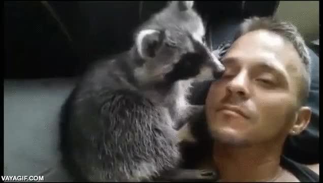 Enlace a Hay que ver lo cariñosos que puede llegar a ser un mapache