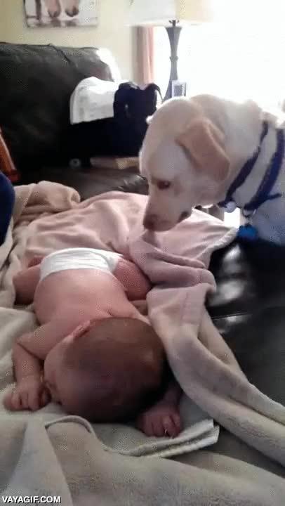 Enlace a Pocos animales cuidan mejor de un bebé que los perros
