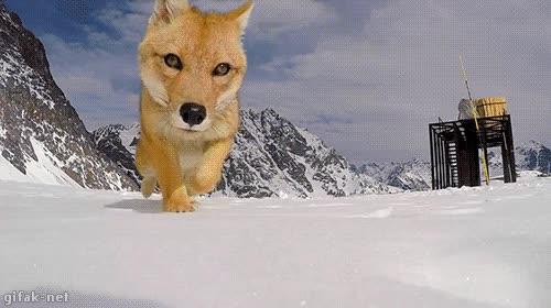 Enlace a La broma de querer grabar con tu GoPro a los zorros en la nieve te va a salir cara