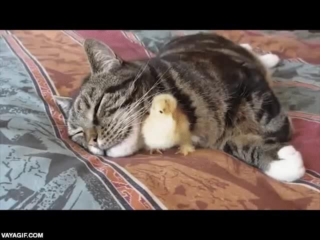 Enlace a Un pollito y un gato creciendo juntos