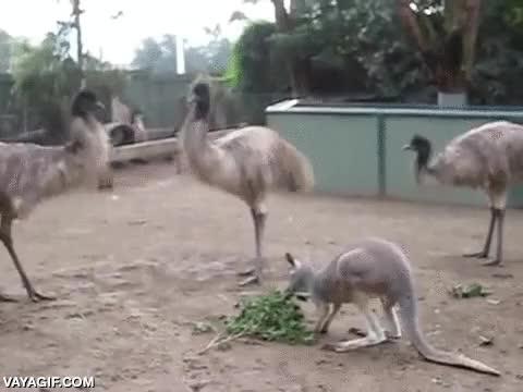 Enlace a El canguro que sabía guardar bien su posición respecto a los emús