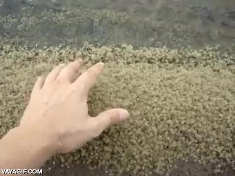 Enlace a No todos los animales australianos son gigantes, también los hay diminutos como estos cangrejos