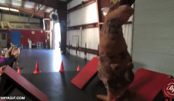 Enlace a Rex y su duro entrenamiento