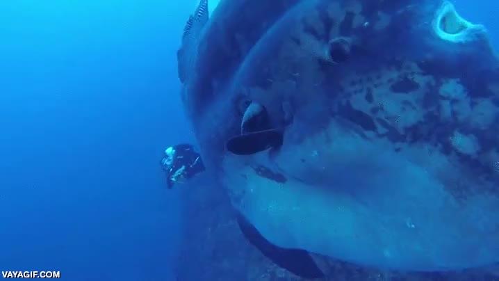 Enlace a Probablemente, el pez luna más grande jamás visto
