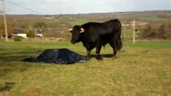 Enlace a El toro que no se fiaba del plástico en el suelo