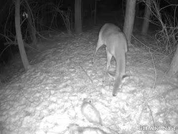 Enlace a Creo que los ciervos no tienen buena visión nocturna
