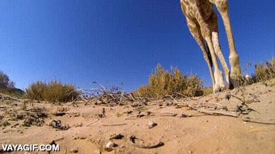 Enlace a La jirafa que pateó una GoPro y consiguió un plano todavía mejor del que se esperaba