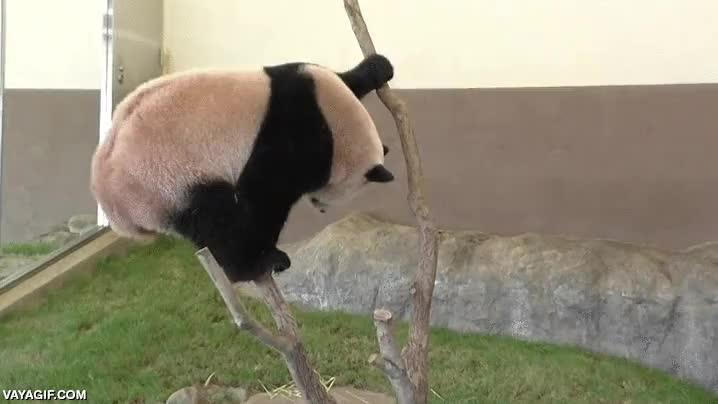 Enlace a Esa delgada línea roja que separa al oso panda de lo adorable y lo torpe