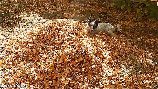 Enlace a La locura desatada de un perro jugando entre hojas secas