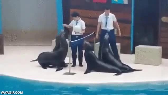 Enlace a No estoy de acuerdo con los shows con animales, pero después de esto, el voleibol con humanos es...