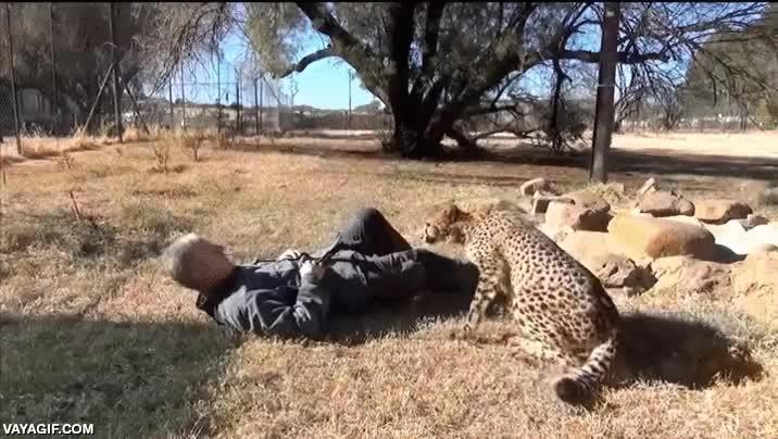 Enlace a Amor verdadero entre este guepardo y su cuidador