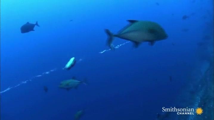 Enlace a Dos peces globo atrapados en un una corriente diminuta pero poderosa