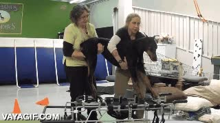 Enlace a Rehabilitando a un perro que perdió la capacidad de andar