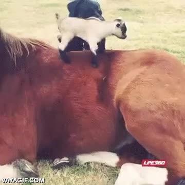 Enlace a Esta cría de cabra ha encontrado su propio tobogán
