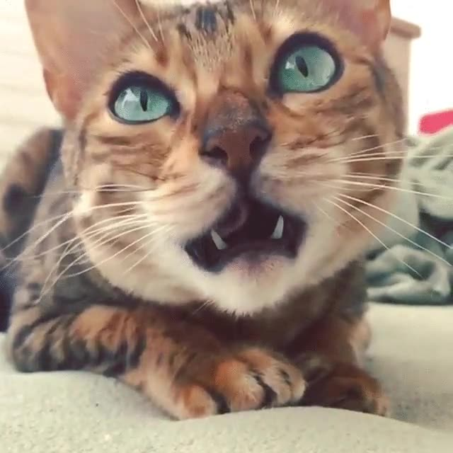 Enlace a Un bostezo felino a cámara lenta, ¿eres capaz de no bostezar?