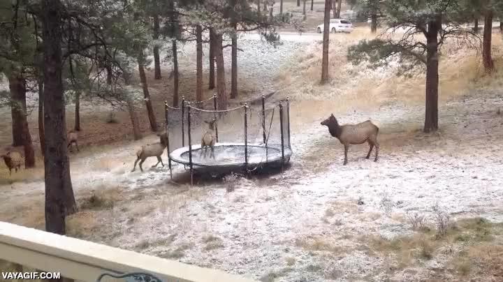 Enlace a Este reno no sabe saltar en la cama elástica