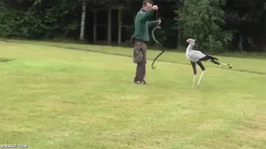 Enlace a Así se entrenan a estas aves de patas largas para cazar serpientes