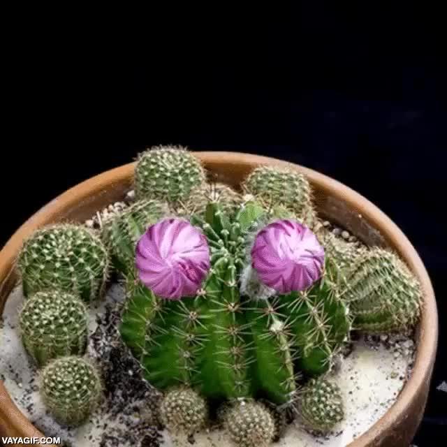 Enlace a Hasta el cactus con más pinchos tiene su momento de florecer