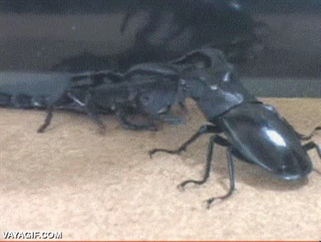 Enlace a En una batalla entre un escorpión y un escarabajo, ¿quién crees que ganaría?
