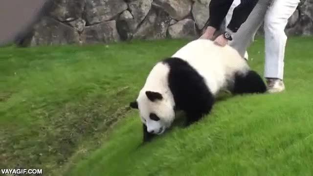 Enlace a Esta panda lo tiene claro, pasando de zoos