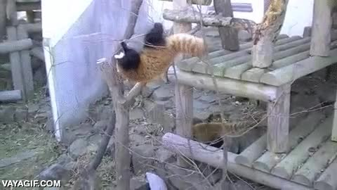 Enlace a Los pandas rojos son los ninjas del mundo de los osos